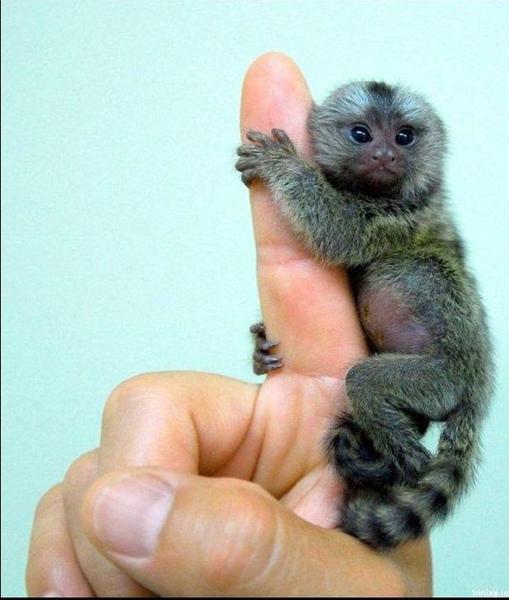好可愛的一指猴.JPG