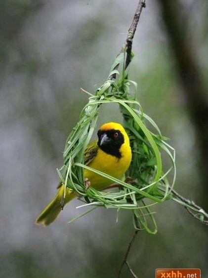 織巢鳥1.JPG