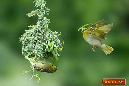 織巢鳥2.JPG
