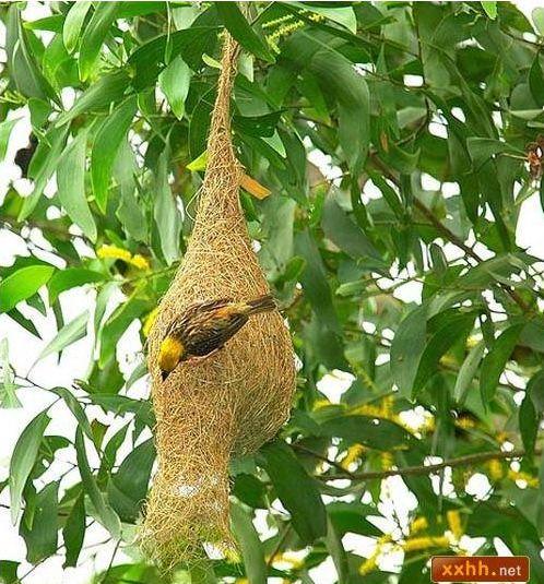 織巢鳥3.JPG
