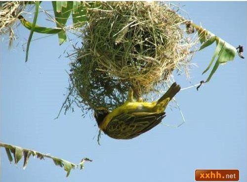 織巢鳥13.JPG