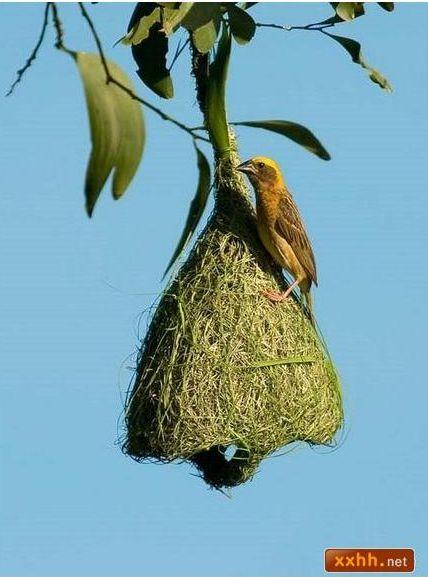 織巢鳥16.JPG