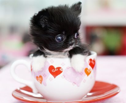 茶杯犬3.jpg