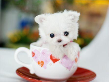 茶杯犬5.jpg