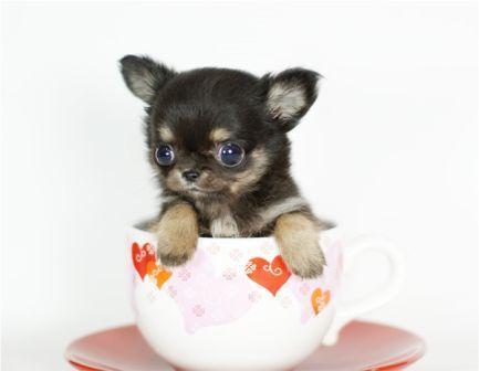 茶杯犬6.jpg
