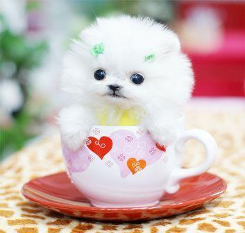 茶杯犬7.jpg