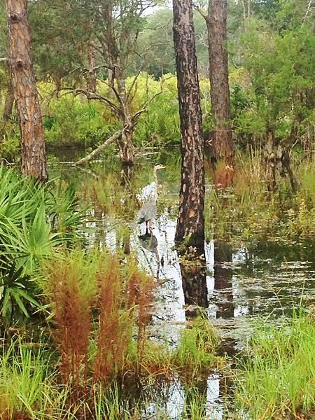 沼澤中的一間鶴