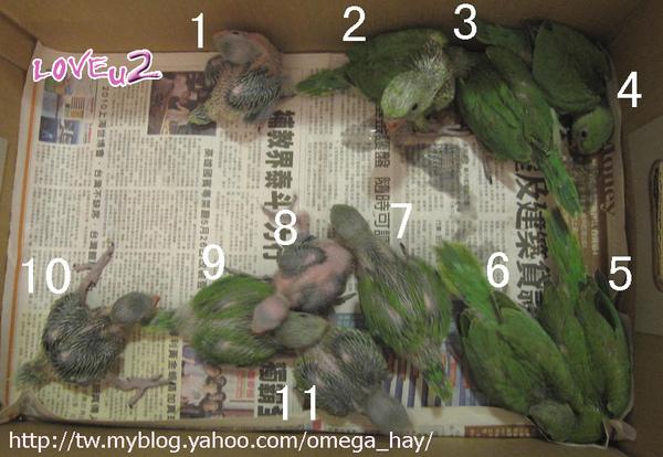 綠月輪幼鳥11隻-A