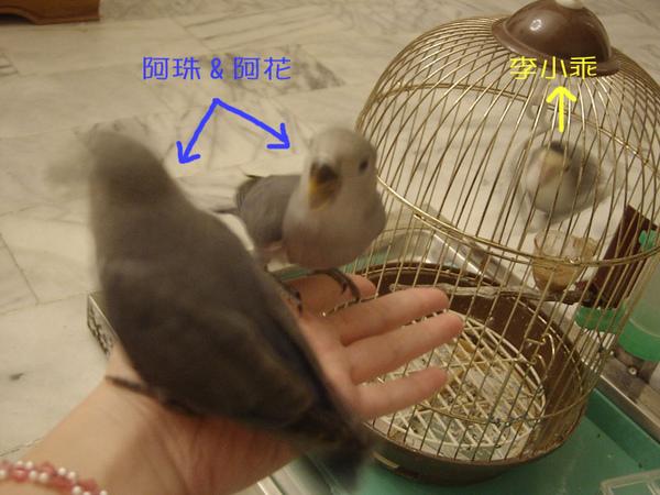 李小乖v.s阿珠阿花