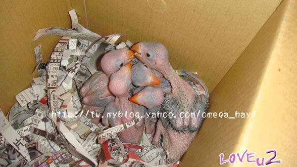 月輪幼鳥們