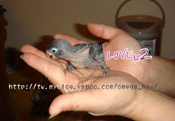 紫羅蘭牡丹幼鳥