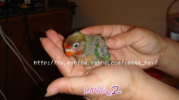 紅牡丹幼鳥