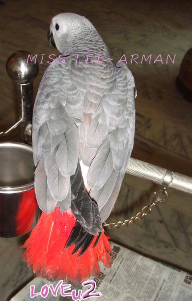 紅斑灰鸚,ARMANI~2