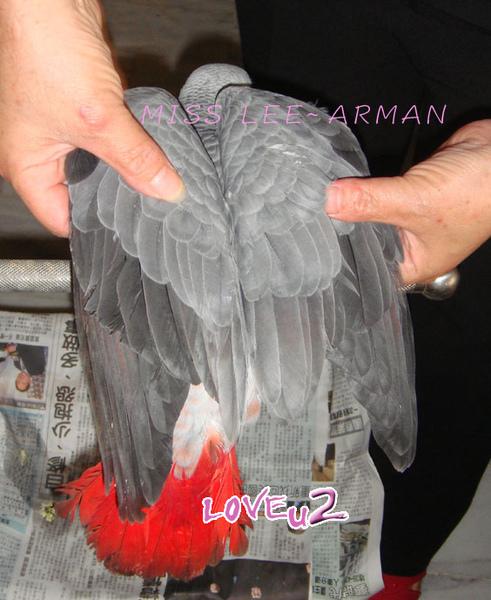 紅斑灰鸚,ARMANI~4