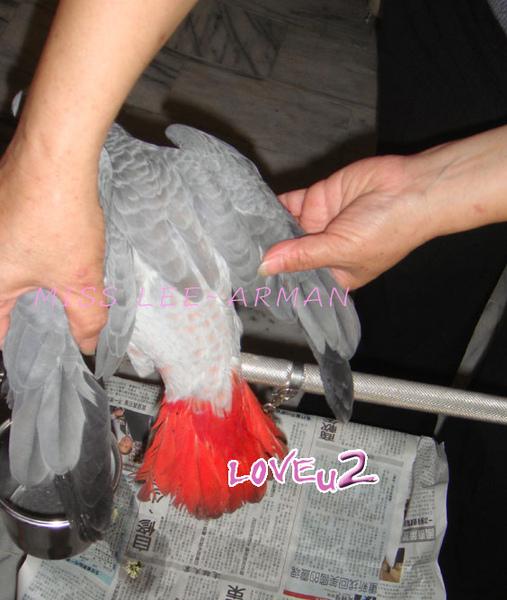 紅斑灰鸚,ARMANI~5