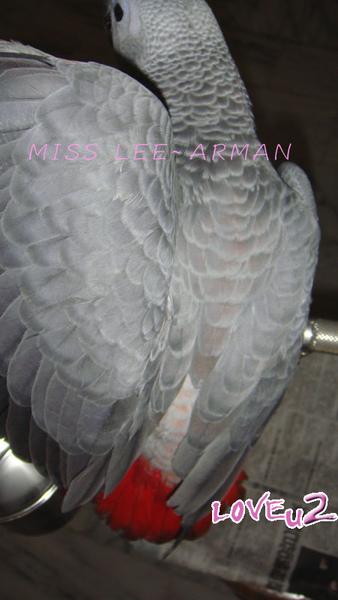 紅斑灰鸚,ARMANI~6