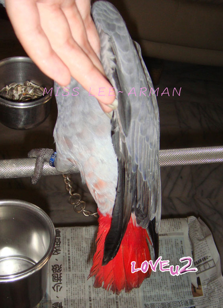 紅斑灰鸚,ARMANI~11