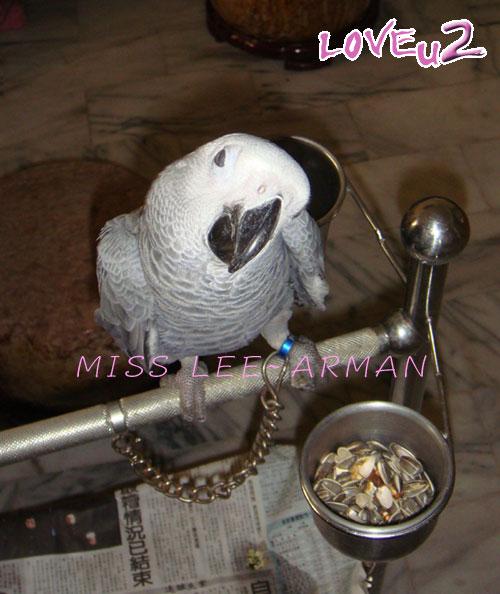 紅斑灰鸚,ARMANI~12