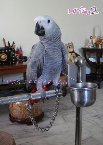 紅斑灰鸚,ARMANI~13