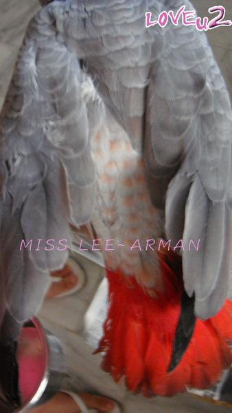 紅斑灰鸚,ARMANI~14