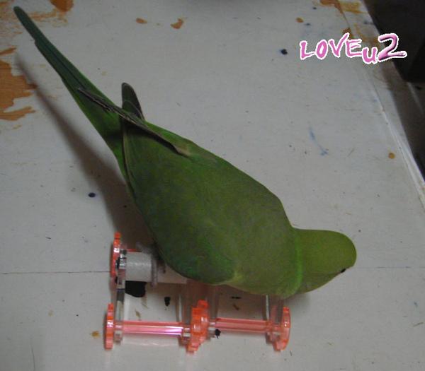 張圓圓(月輪鸚鵡)新玩具-溜冰鞋-2