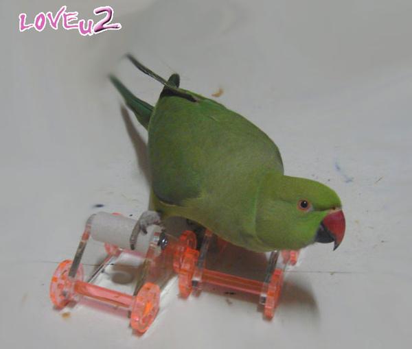 張圓圓(月輪鸚鵡)新玩具-溜冰鞋-3