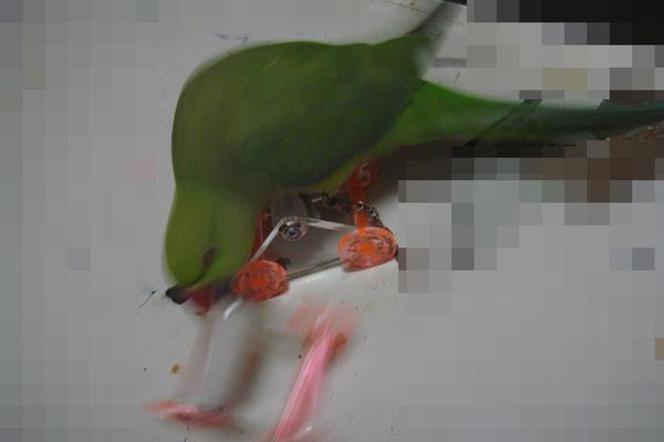張圓圓(月輪鸚鵡)新玩具-溜冰鞋-5