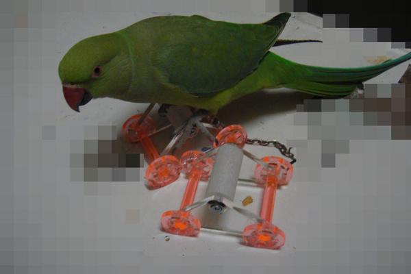 張圓圓(月輪鸚鵡)新玩具-溜冰鞋-6