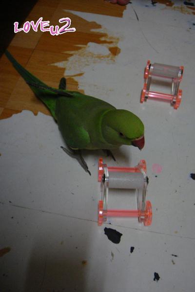 張圓圓(月輪鸚鵡)新玩具-溜冰鞋-7
