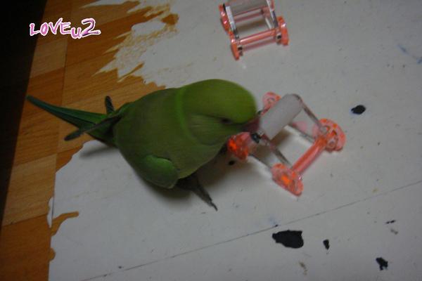 張圓圓(月輪鸚鵡)新玩具-溜冰鞋-8