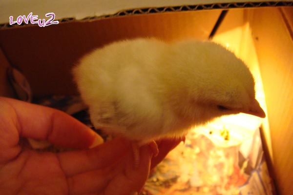 日本小雞站在手上
