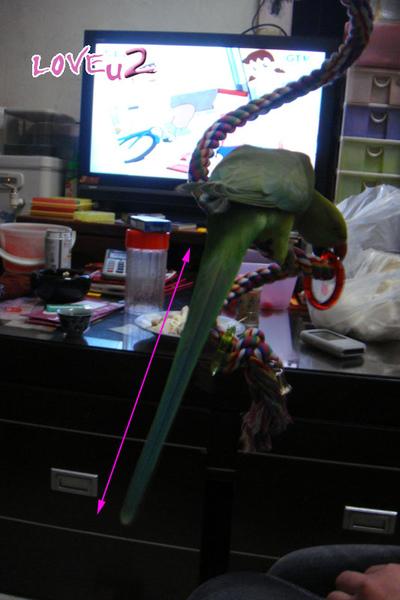 進口鸚鵡玩具-變形繩索-螺旋攀爬棉繩棲木玩具-1