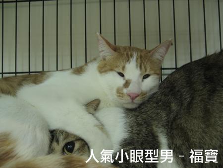 認養地圖送養貓
