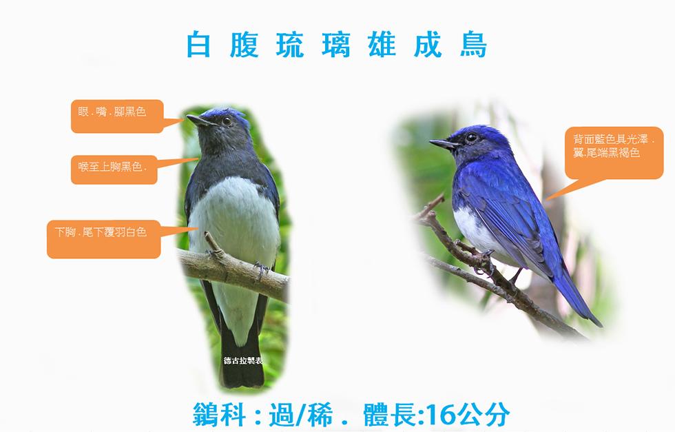 白腹琉璃雄成鳥.jpg