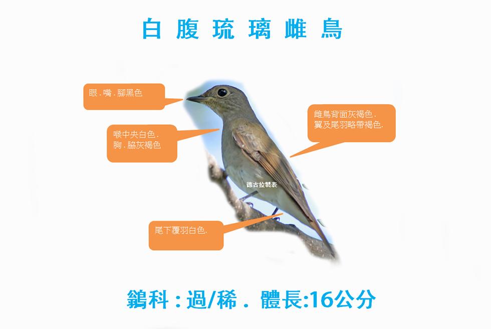 白腹琉璃雌成鳥.jpg