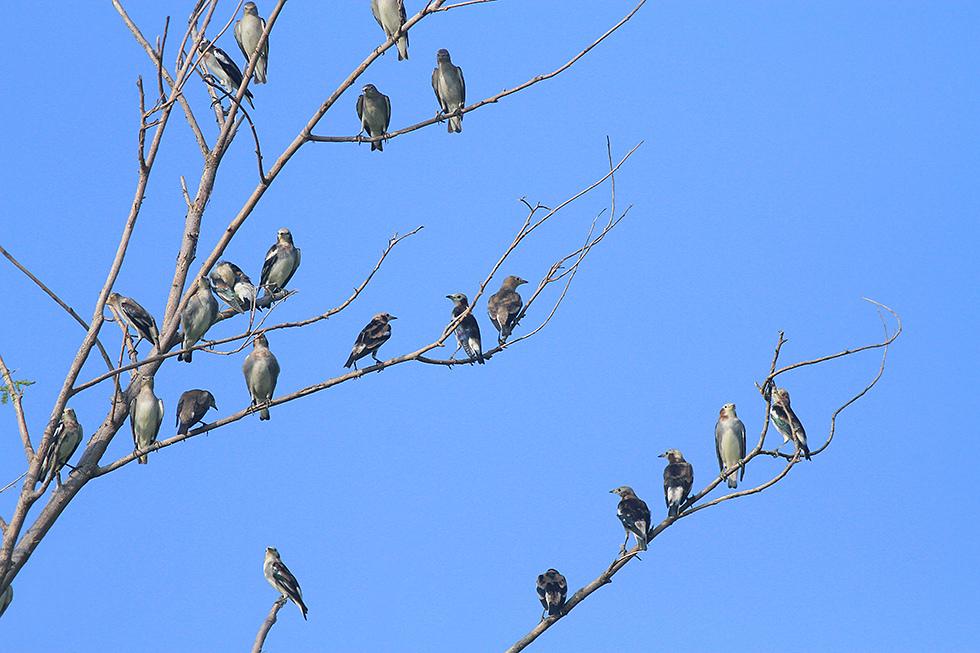 小椋鳥.jpg