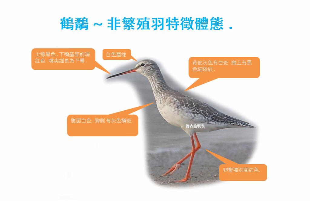 鶴鷸非繁殖羽特徵.jpg