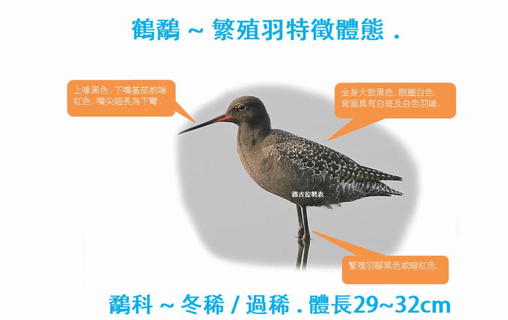 鶴鷸繁殖羽特徵.jpg