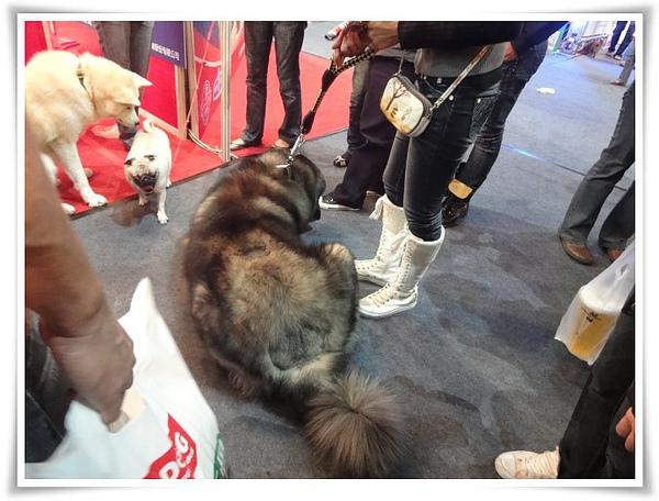 高雄巨蛋寵物展-不知名巨犬01.JPG