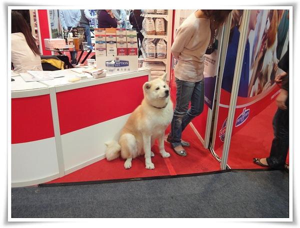 高雄巨蛋寵物展-日本犬.JPG