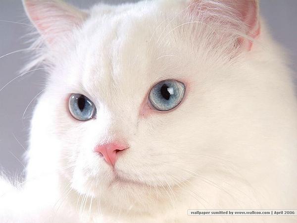 [wallcoo_com]_Persian_Cat_picture_80596.jpg