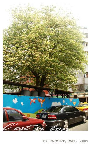 夏。加羅林魚木盛開