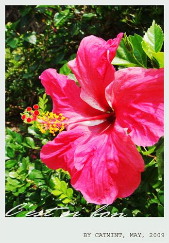 夏天最亮眼的扶桑花