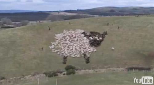 綿羊拼圖秀