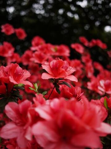 漫步。台大杜鵑花季