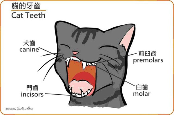 貓咪牙齒2.JPG