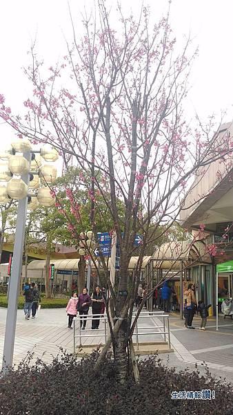 國道3號關西休息站-櫻花