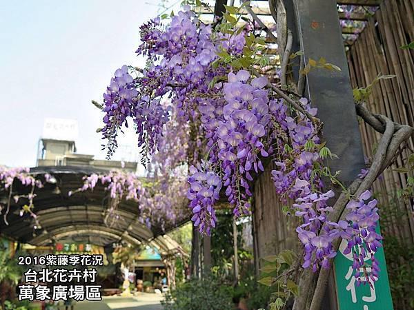 台北花卉村-紫藤花季1