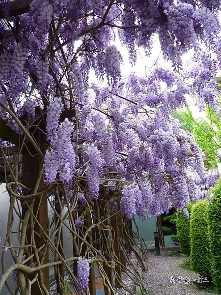武陵農場 紫藤花海4