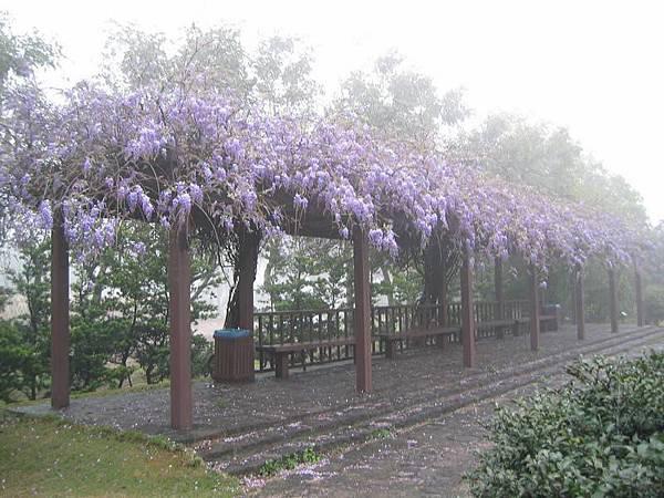 迷霧中的紫藤花